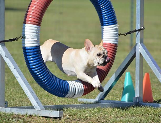 French bulldog at dog agility trial picture id513051532?b=1&k=6&m=513051532&s=612x612&w=0&h=cktvix2msrbkr0qix nj5poxkkmwqxfukl wy4c22wq=