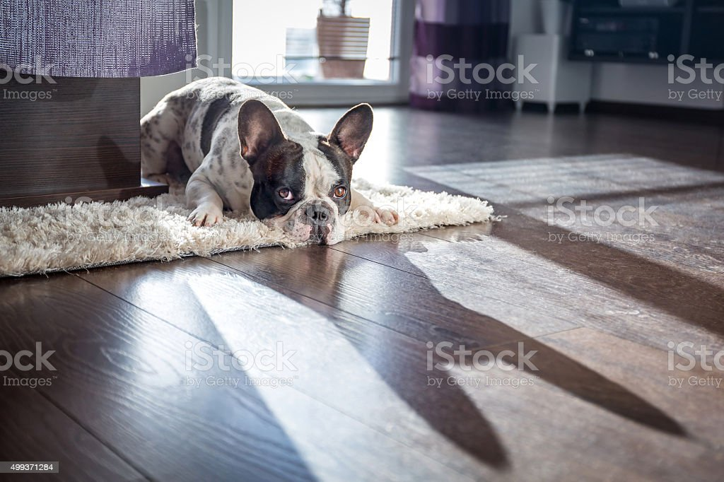 French bulldog at home stock photo