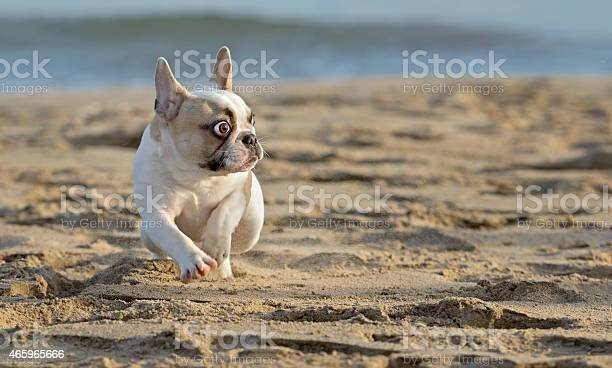 French bulldog at the beach picture id465965666?b=1&k=6&m=465965666&s=612x612&h=ttkyccflznozj5rbzeu4fo2myc2viv8lugg7ushg5ao=