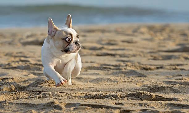 French bulldog at the beach picture id465965666?b=1&k=6&m=465965666&s=612x612&w=0&h=y7n1yy e6czgkx9mggngj80jke0rnfzpsoakhlppaio=