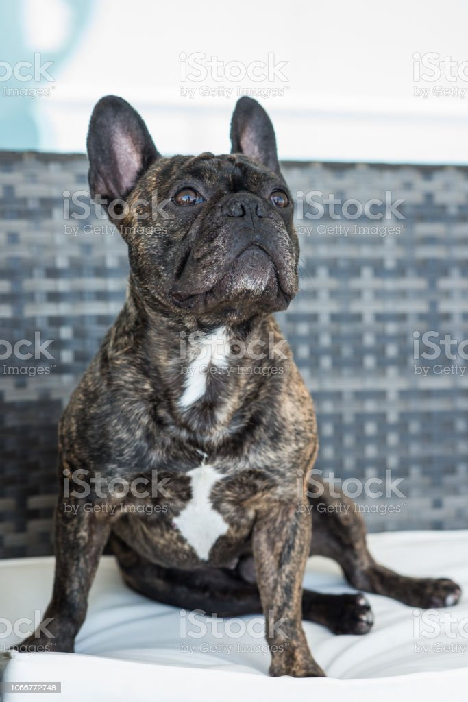 French Bulldog Brindle color stock photo
