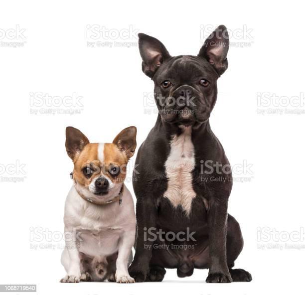 French bulldog chihuahua picture id1068719540?b=1&k=6&m=1068719540&s=612x612&h=aqrb0i uxoigiyfm437ty2ze6ehqcts8vua9fjrvkac=