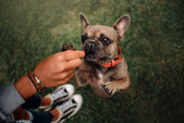 french bulldog dog begging outdoors, top view french bulldog dog begging for a treat outdoors, top view animal tricks stock pictures, royalty-free photos & images