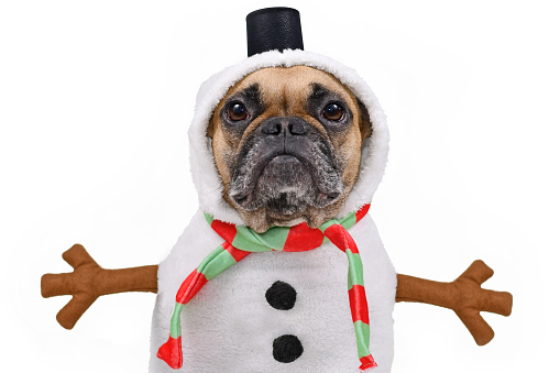 Cute fawn colored French Bulldog dog dressed up as snowman with funny full body suit costume with striped scarf, fake stick arms and small top hat on white background