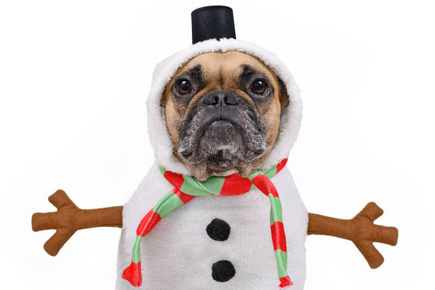 French Bulldog dog dressed up as snowman with funny full body suit costume with striped scarf, fake stick arms and small top hat on white background Cute fawn colored French Bulldog dog dressed up as snowman with funny full body suit costume with striped scarf, fake stick arms and small top hat on white background funny christmas stock pictures, royalty-free photos & images