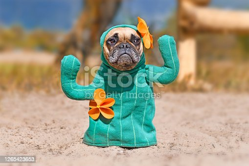 French Bulldog dog dressed up with funny selfmade cactus Halloween dog costume with fake arms and orange flowers standing on sandy ground