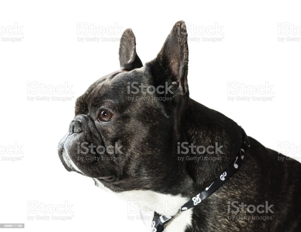 French Bulldog dog in tie royalty-free stock photo