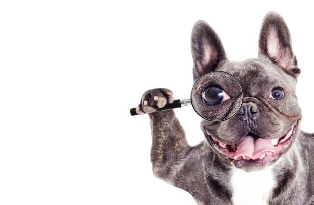 Französische Bulldogge Hund befasst sich mit einer Lupe – Foto