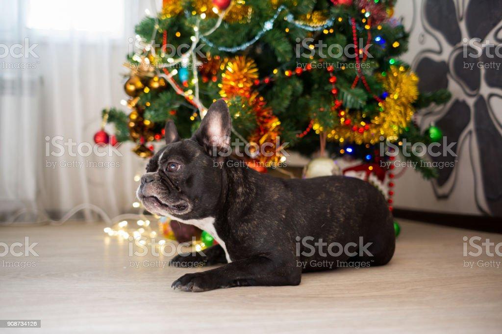 French bulldog dog lying under a Christmas tree stock photo