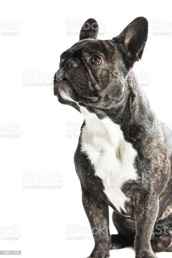 Bouledogue Français chien photo libre de droits