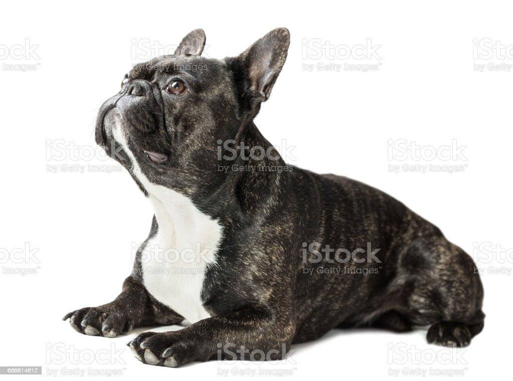 French Bulldog dog royalty-free stock photo