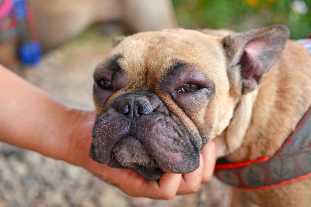 French Bulldog dog with swollen face and red puffy eyes after suffering an allergic reaction medical condition stinging stock pictures, royalty-free photos & images