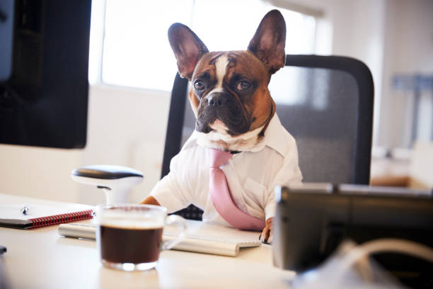 French Bulldog Dressed As Businessman Works At Desk On Computer French Bulldog Dressed As Businessman Works At Desk On Computer french bulldog stock pictures, royalty-free photos & images