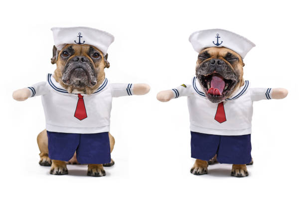 French Bulldog dressed up with funny and cute sailor dog Halloween costume with sailor hat, blue pants and shirt with fake arms isolated on white background Two different shots of fawn colored French Bulldog dressed up with funny and cute sailor dog Halloween costume with sailor hat, blue pants, neckerchief and shirt with fake arms isolated on white background sailor hat stock pictures, royalty-free photos & images
