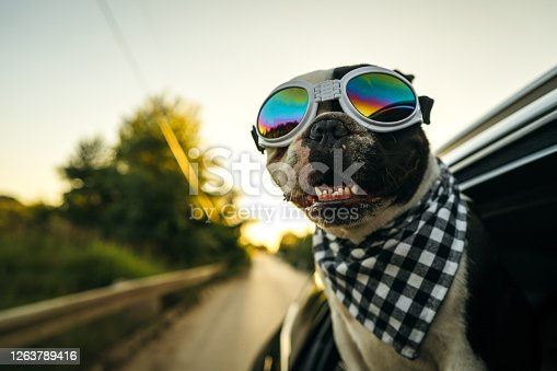 French Bulldog with sunglasses and plaid scarf is looking out the open window during the car ride.