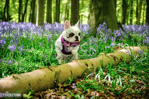 Frenchie dog at bluebell woods