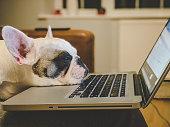 Office dog. Frenchie falling asleep on laptop
