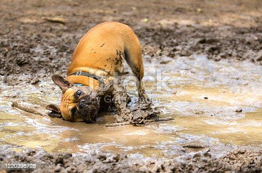istock French Bulldog having fun in a mud puddle 1220398728