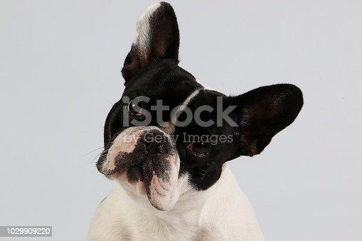 533229488 istock photo french bulldog head portrait 1029909220