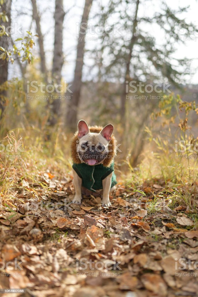 French bulldog in a coat in autumn leaves stock photo