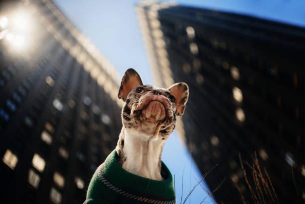 French bulldog in a sweater posing outdoors portrait from below picture id1216781124?b=1&k=6&m=1216781124&s=612x612&w=0&h=rxuhk5ofsh  xyy6t0z10gu2e4pfe0wzavajjjyeesw=
