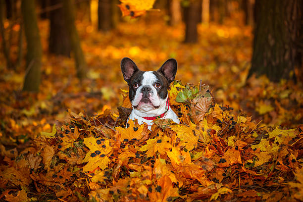 French bulldog in autumnal scenery picture id532396693?b=1&k=6&m=532396693&s=612x612&w=0&h=o6f5ihjl  vvtv9ho3nb yzdldhhl0nvppvkcc209yi=