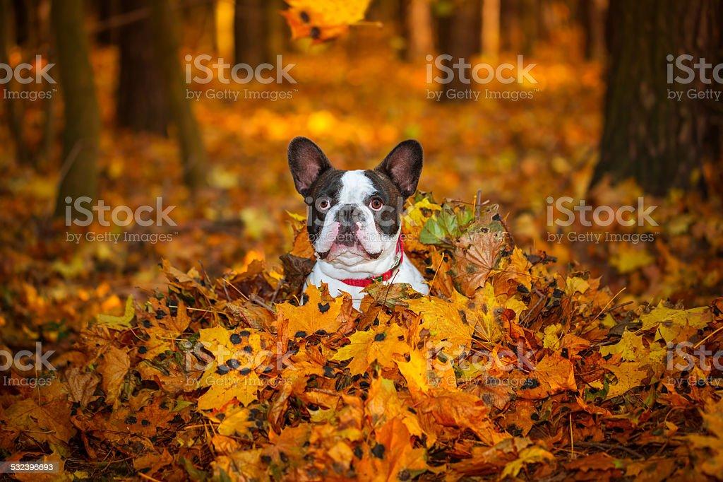 Buldog francuski w autumnal scenerii – zdjęcie