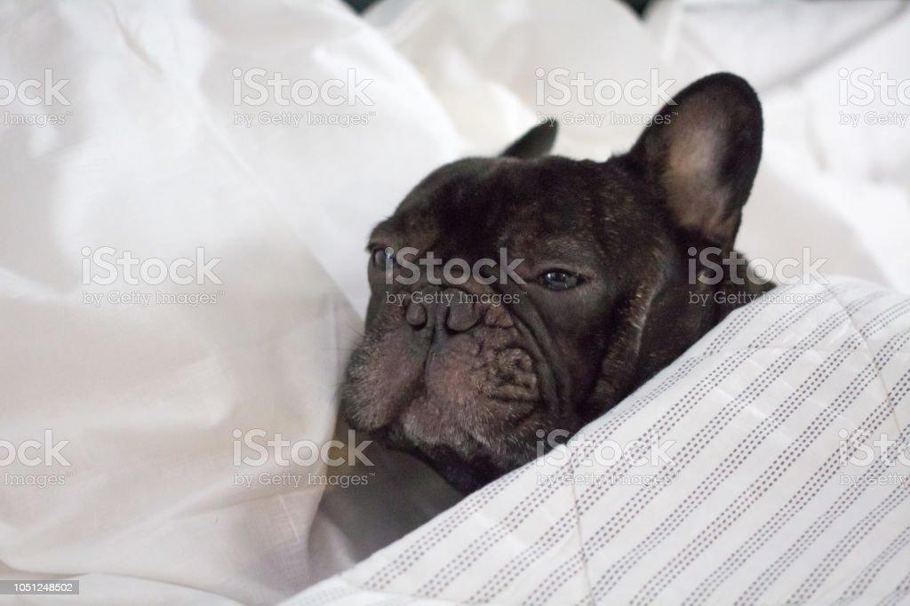 Französische Bulldogge In Bett Ruhen Oder Fühlt Sich Krank Und