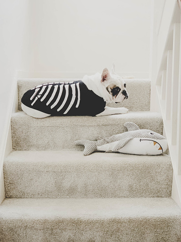 French Bulldog in fancy dress as a skeleton, lying down on the stairs with her shark toy