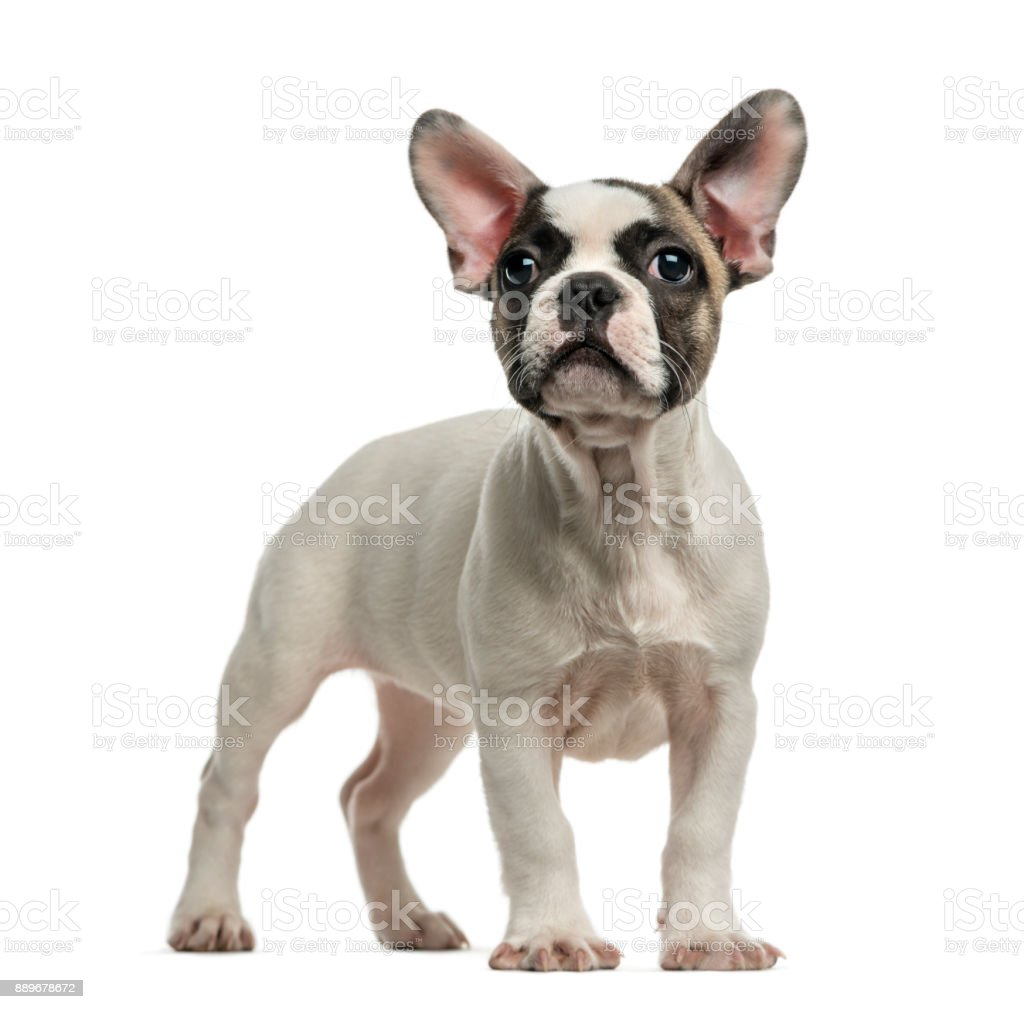 French Bulldog (3 months old) in front of a white background stock photo