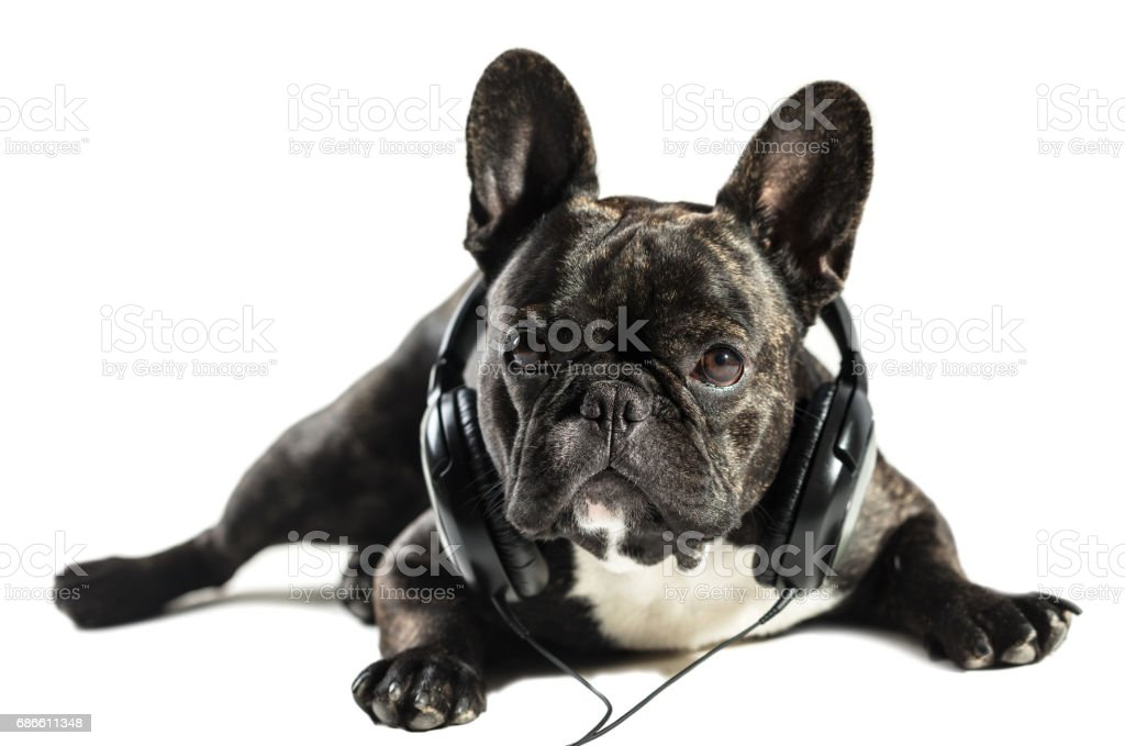 French bulldog in headphones royalty-free stock photo