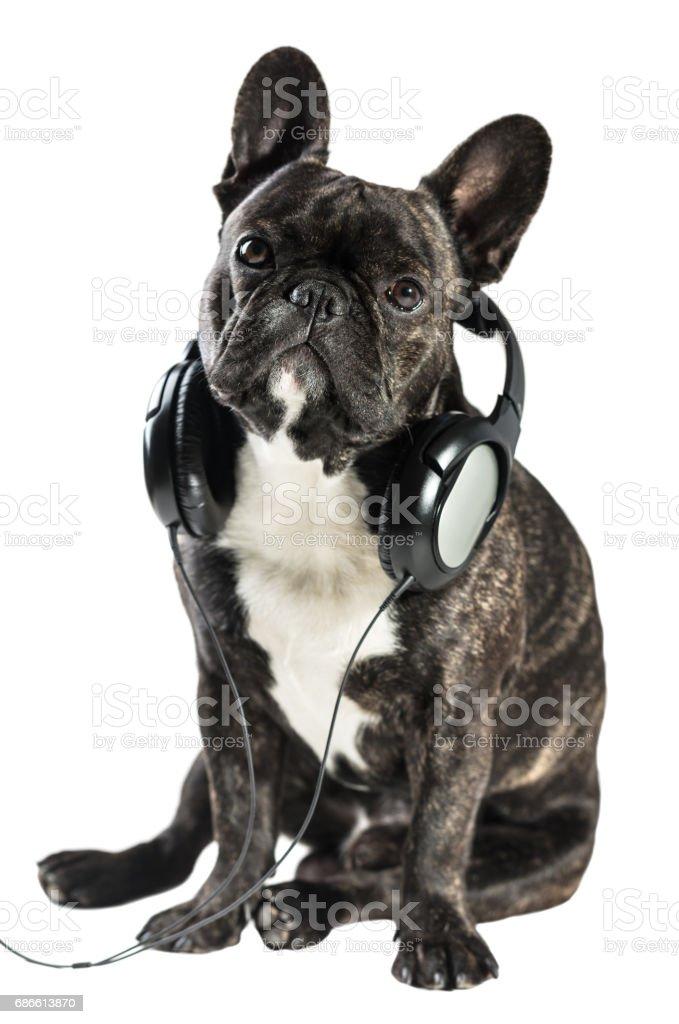 French bulldog in headphones royalty-free stock photo