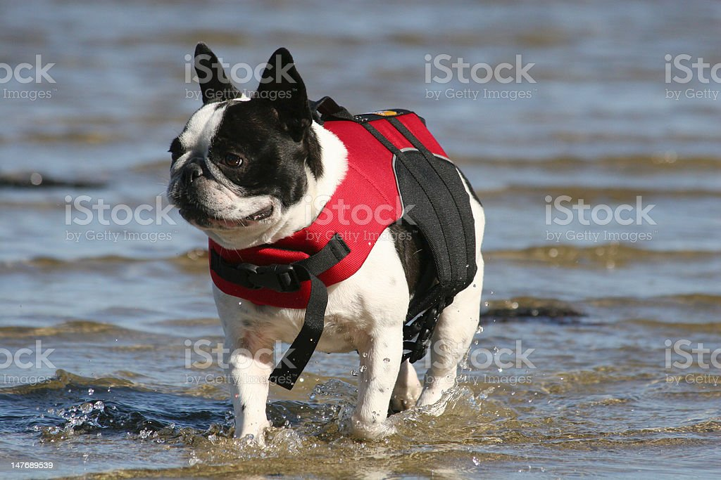 French Bulldog in Lifevest stock photo