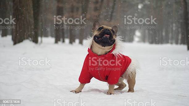 French bulldog in red jacket on the walk in forest picture id506237806?b=1&k=6&m=506237806&s=612x612&h=oa gdzfvkx7czrl6blou6cbqgiciamfbpfr6i evyhk=