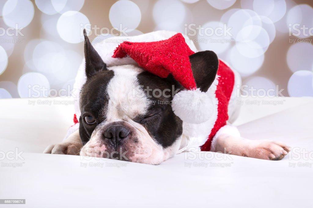 French bulldog in santa costume – zdjęcie
