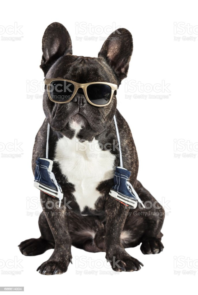 French bulldog in sunglasses royalty-free stock photo