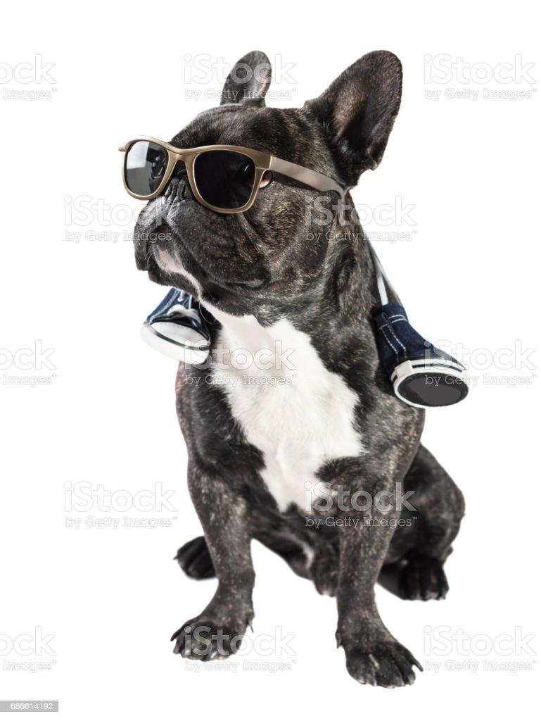 French bulldog in sunglasses royalty-free stock photo