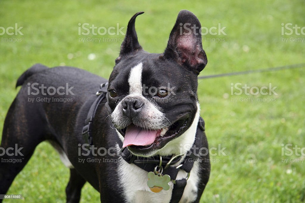 French Bulldog in the Park royalty-free stock photo