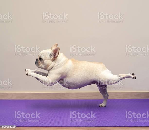 French bulldog in yoga pose warrior 3 picture id525986255?b=1&k=6&m=525986255&s=612x612&h=3dvyi al1ajcxizxljvy3eig3oefasarejff9ms7o2w=