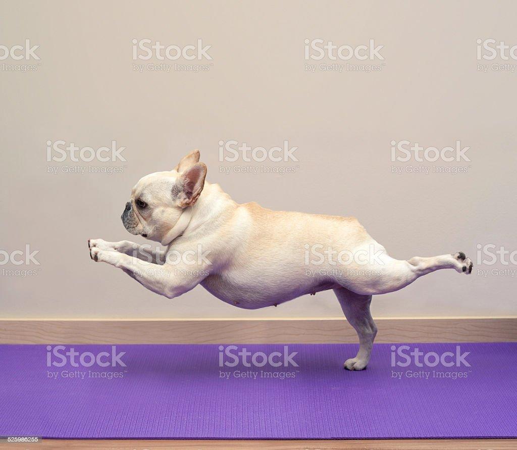 French Bulldog in Yoga Pose - Warrior 3 stock photo