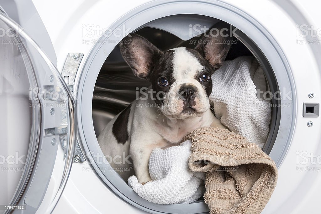 French bulldog inside the washing machine stock photo
