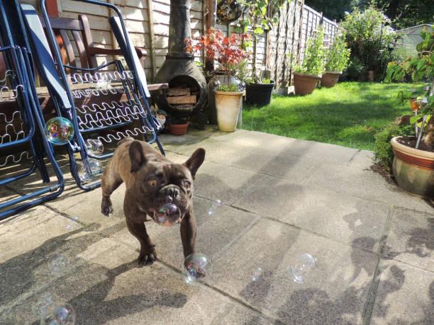 French Bulldog Jumping at Bubbles stock photo