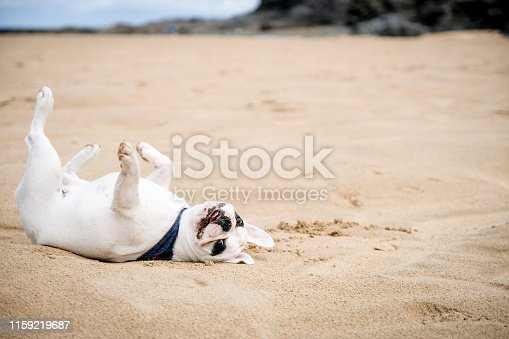 Frenchie dog lays on her back sunbathing at Harlyn Bay Beach in Cornwall, England