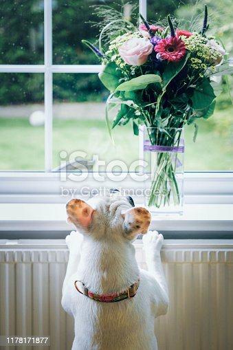 Frenchie puppy looking a bouquet of flowers