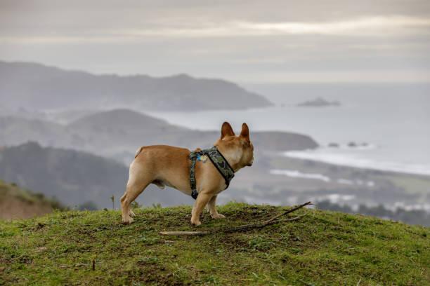 French Bulldog looking at coastal views stock photo