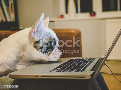 istock French Bulldog looking at laptop 1173970445