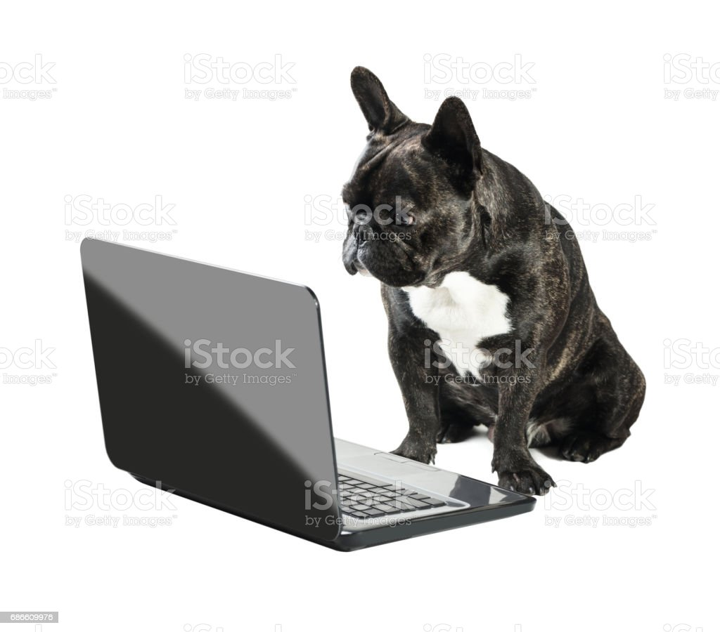 French bulldog looking into laptop royalty-free stock photo