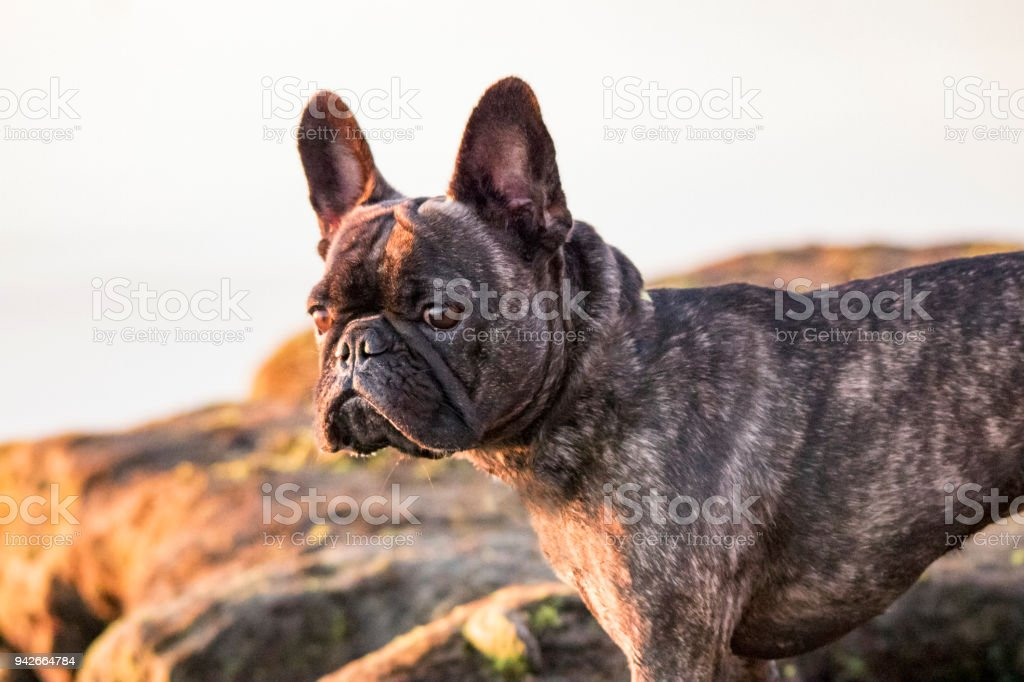 French Bulldog Looking Out at Beach stock photo