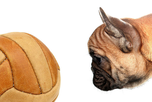 French bulldog looking soccer ball picture id505272592?b=1&k=6&m=505272592&s=612x612&w=0&h=lfxgepwvzuaijarokeyuq5n4zfktv5ijnv3moxmldw0=