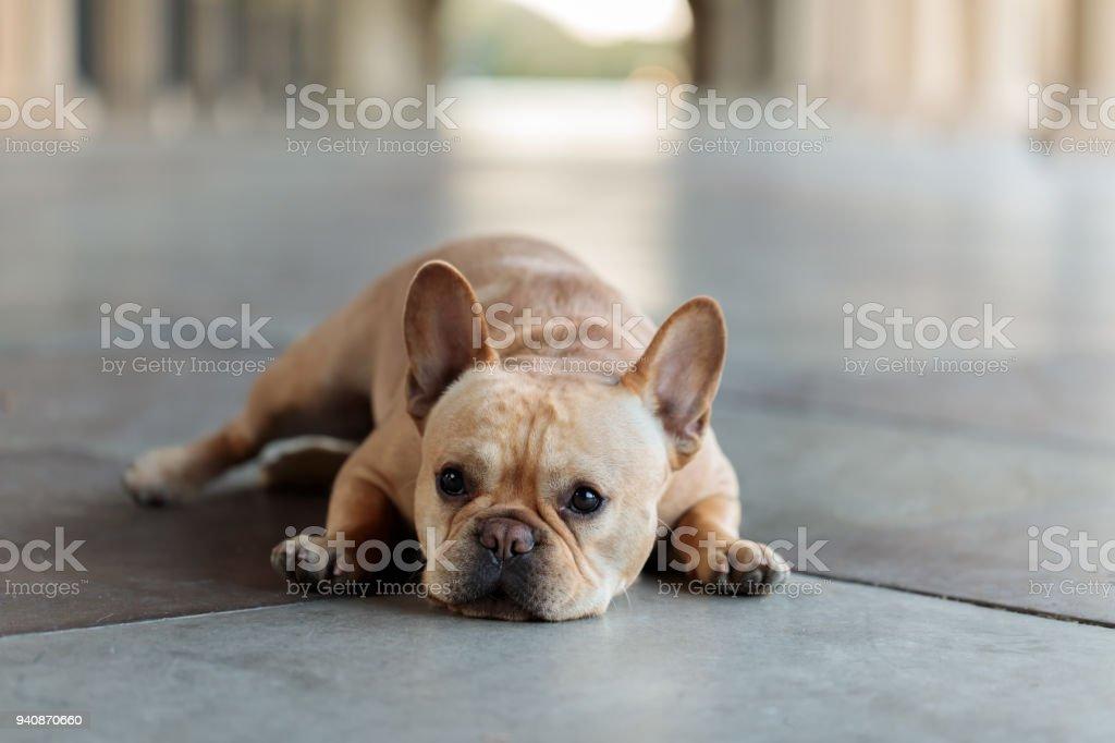 French Bulldog lying down on the floor. stock photo